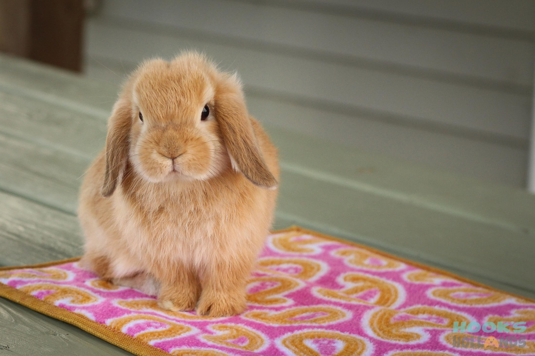 Holland lop color chart holland lop rabbit colors ohio holland orange nvjuhfo Image collections
