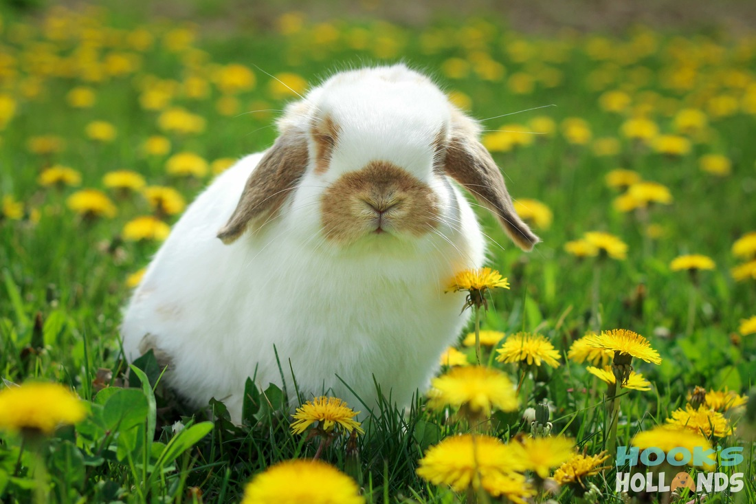 holland lop color chart holland lop rabbit colors ohio holland