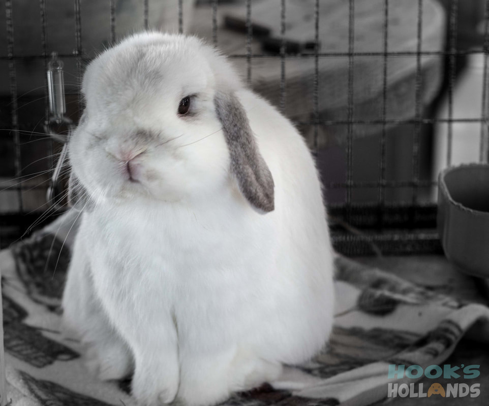 Holland Lop Color Guide with Photos - Ohio Holland Lops | 800x962