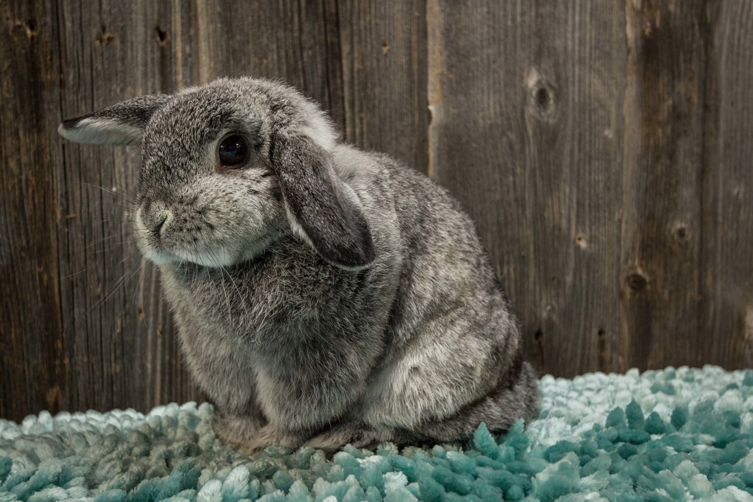 Holland Lop Color Chart - Holland Lop Rabbit Colors - Ohio ...